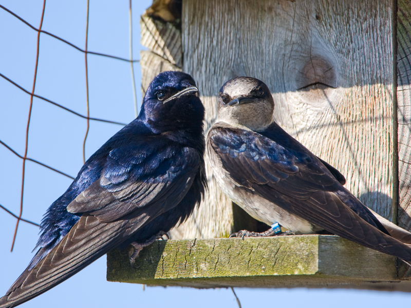 Purple Martins sitting on bird house stoop.