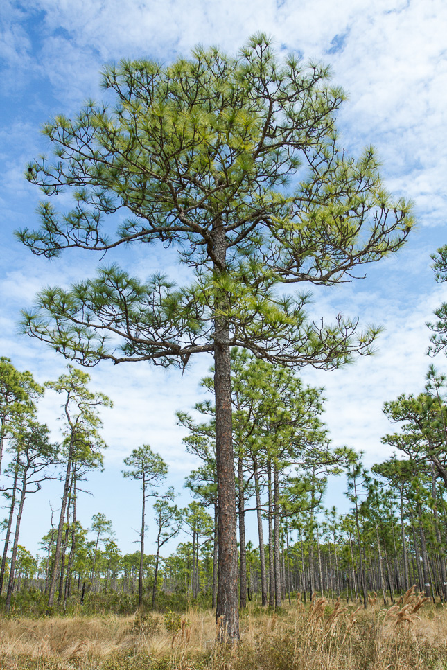 Large longleaf pine tree