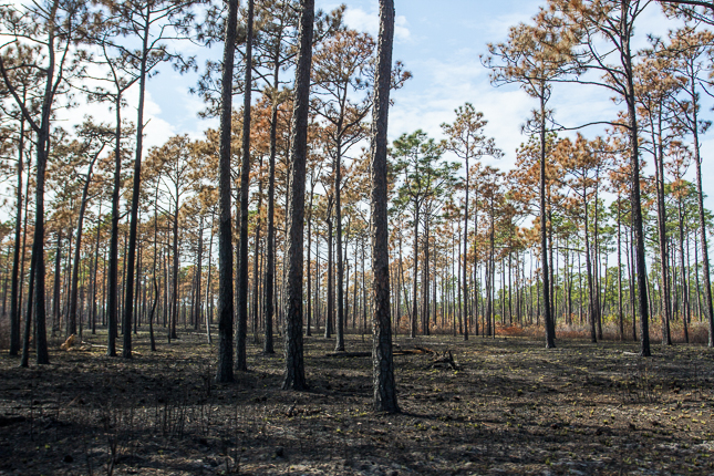 Blackened longleaf forest after fire