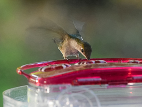 Ruby-throated hummingbird arriving at a feeder.