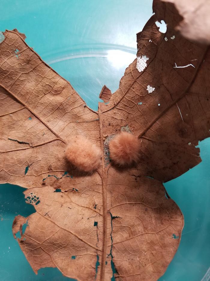 Two puffy balls sit on a dead leaf.