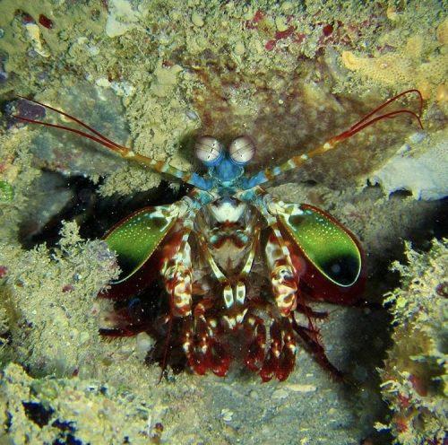 Photo of a colorful Mantis Shrimp