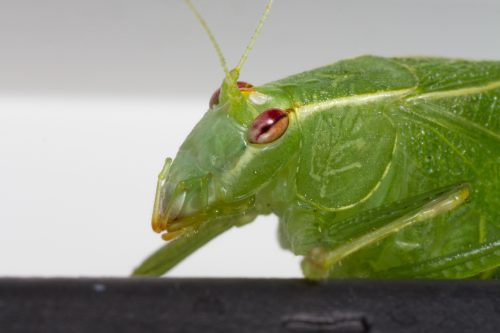 A close-up of a katydid's face