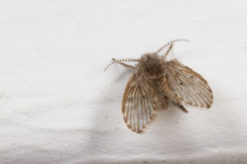 A moth fly