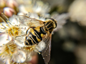 Bee-mimic hover fly.
