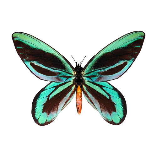 A blue and black butterfly with its wings open
