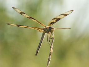 Dragonfly perching