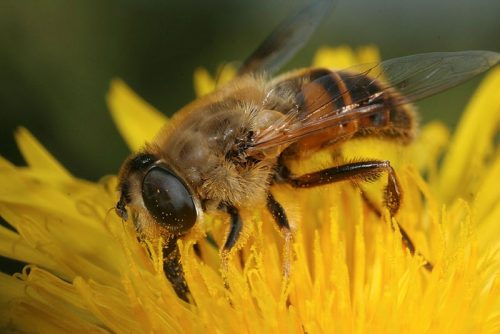 A fly that looks like a bee on a dandelion