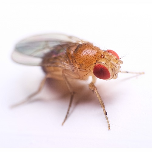 A drosophila fly, magnified