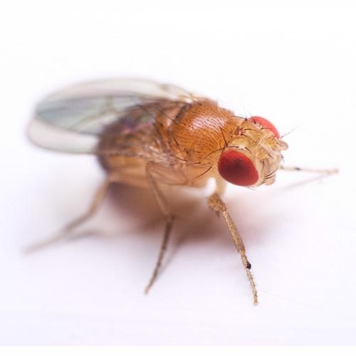 A drosophila fly, magnified