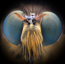 Robber Fly macro