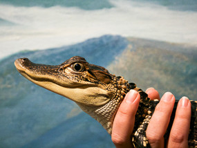 Museum educator holding a baby alligator