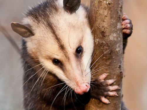Nature Now! Awesome Opossum, Part 1