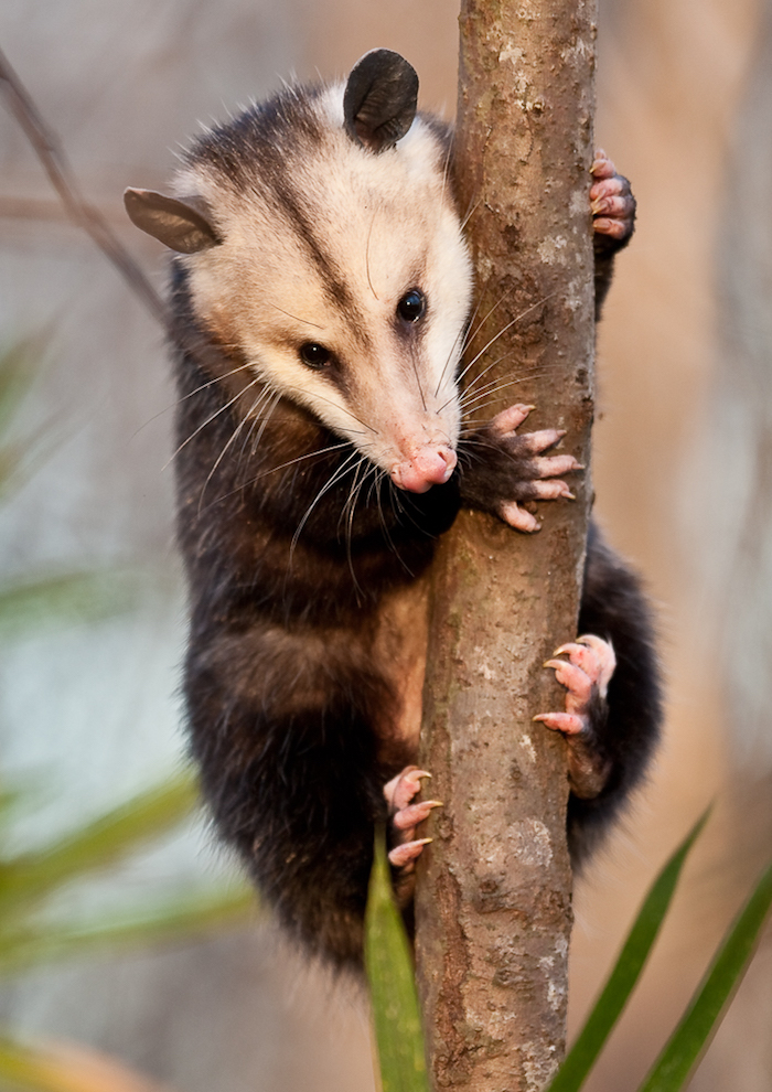 A possum holds a tree.