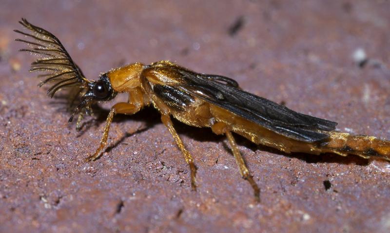 Adult male glowworm beetle, Family Phengodidae