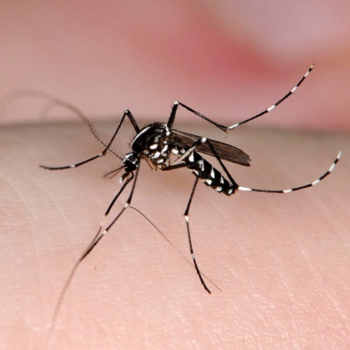 Asian Tiger Mosquito on human skin