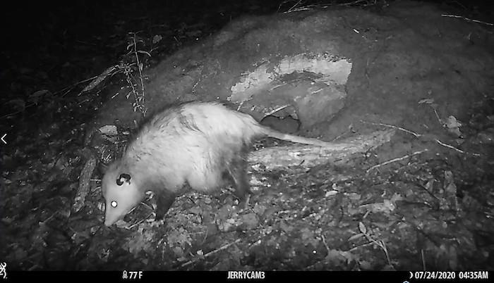 A possum at night.