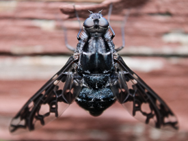 Tiger Bee Fly staking out nesting sites of carpenter bees.