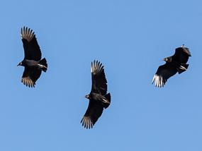 Vultures kettling
