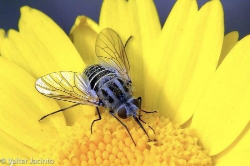 A pollinator fly on a yellow flower