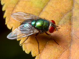 Lucilia greenbottle blow fly