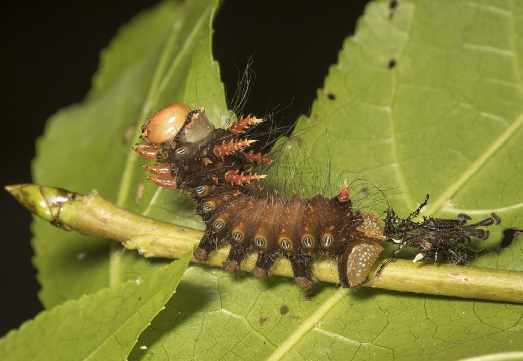 imperial caterpillar and shed skin