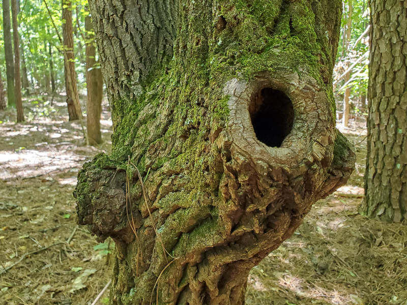 Sourwood with burr and knothole.