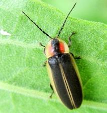 A firefly on a leaf