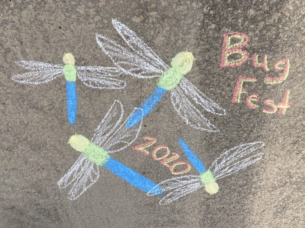 bugfest 2020 and three chalk dragonflies with blue bodies