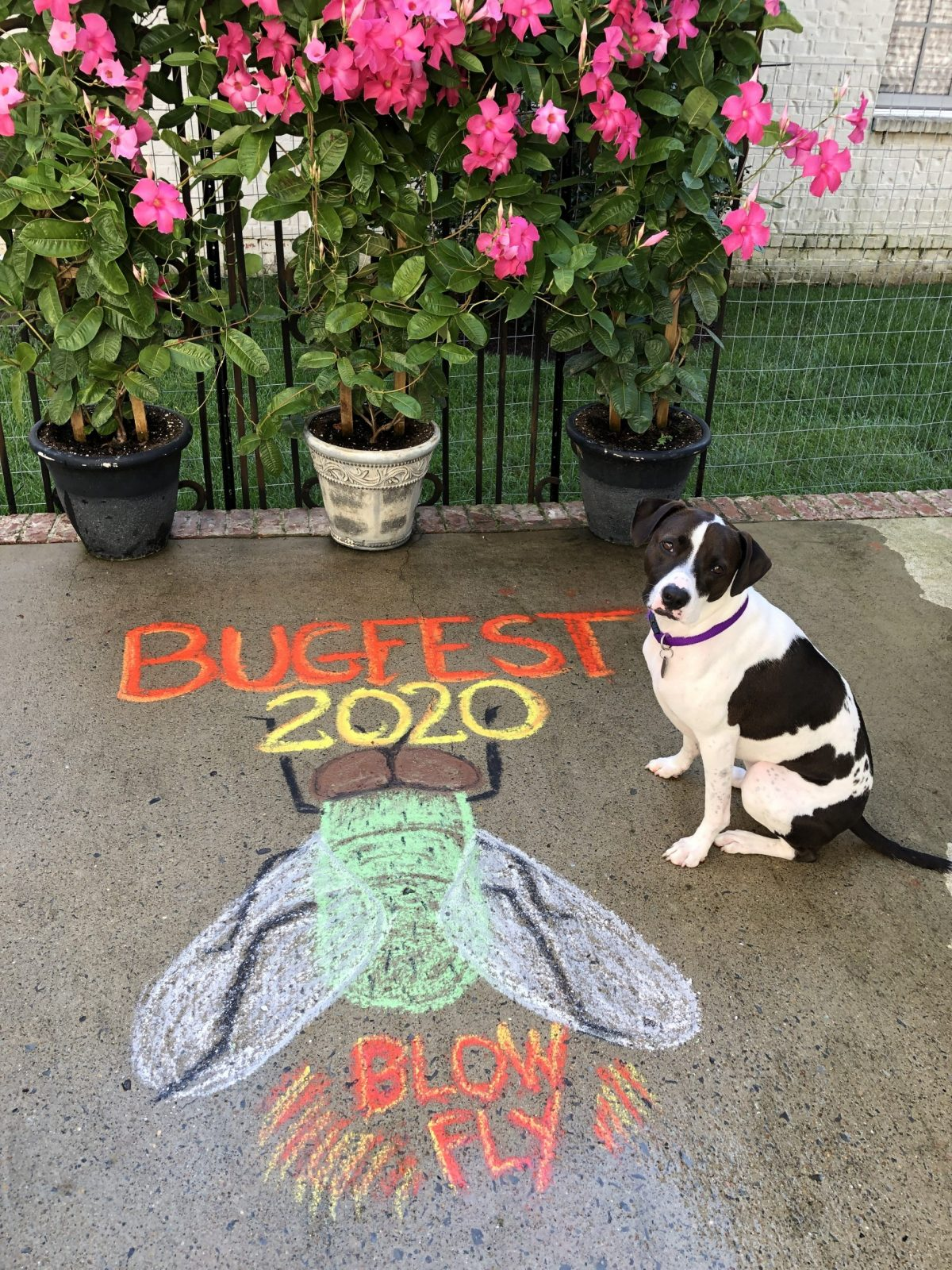 BugFest Fly in Chalk with pink flowers and a black and white dog