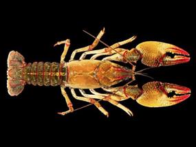 Lacunicambarus dalyae crayfish. Photo: Mael Glon.