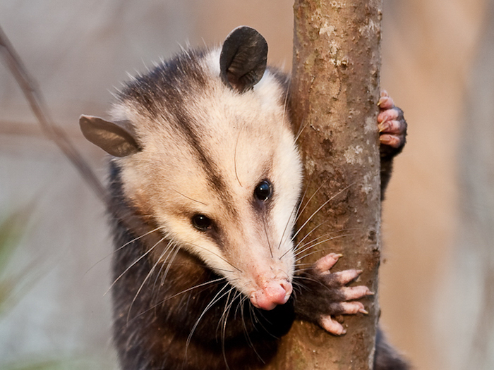 Opossum in tree. Photo: Mike Dunn.