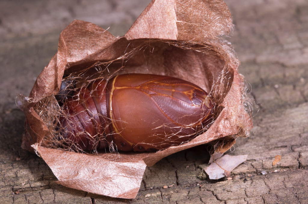 cocoon that has been cut open to reveal the pupa