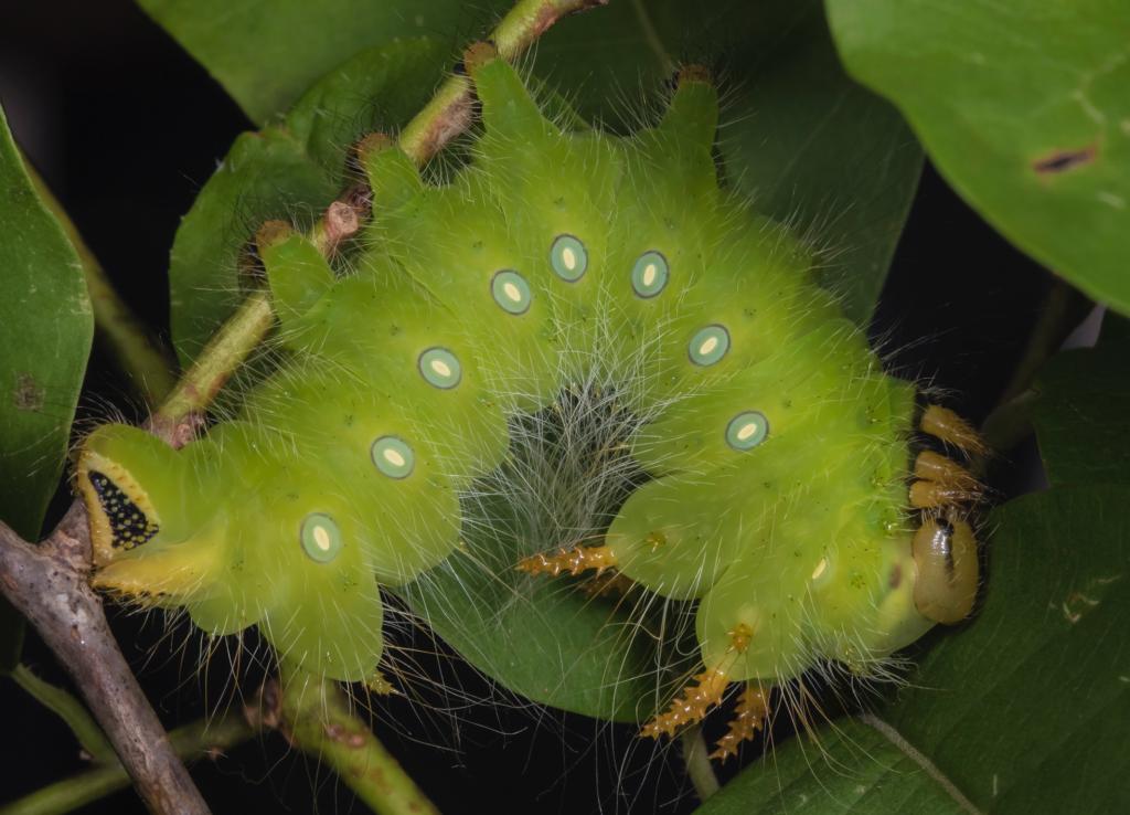 green imperial moth caterpillar