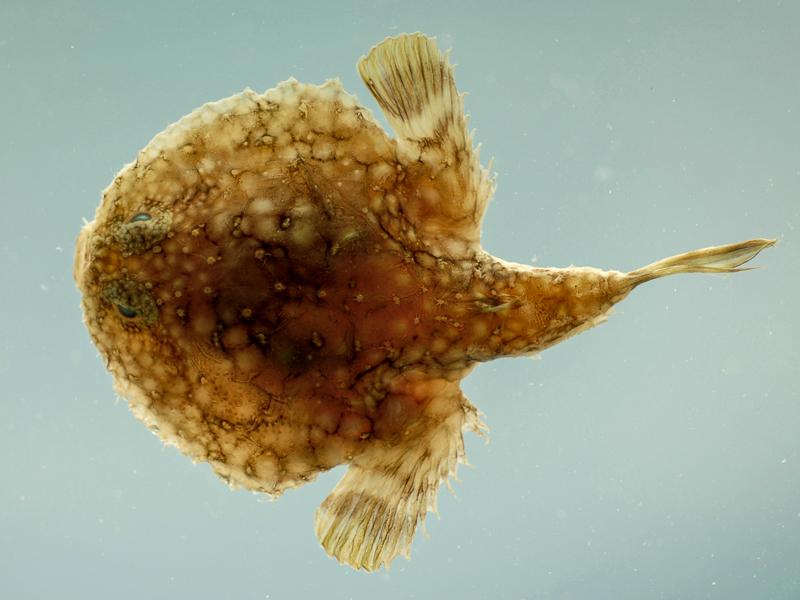 Pancake Batfish from the Gulf of Mexico.