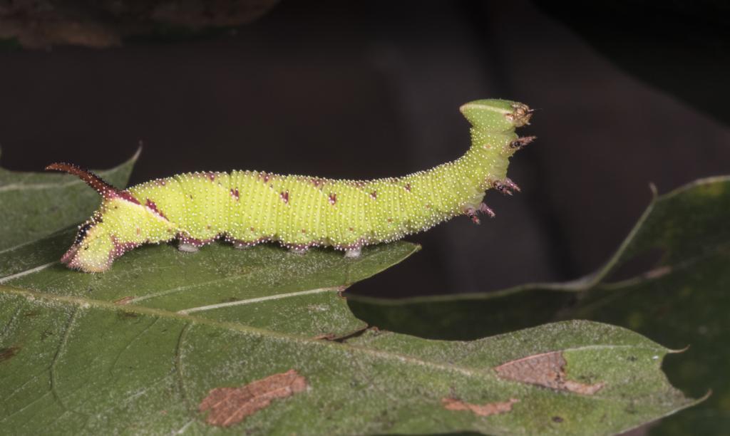 walnut sphinx caterpillar