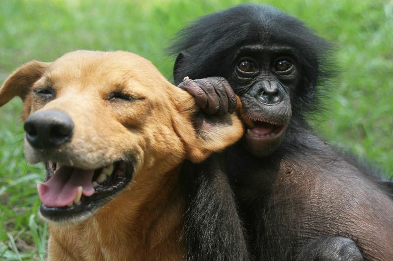 Dog and bonobo playing