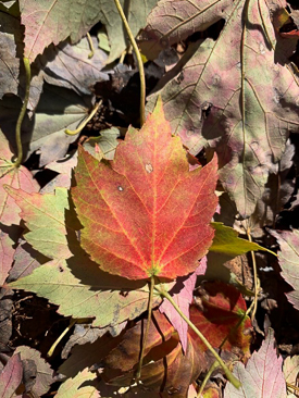 Red Maple leaf.