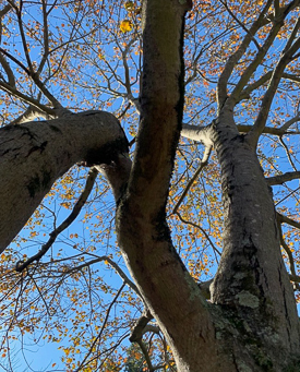 Maple tree trunk and branches.