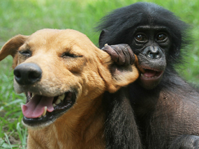 Dog and Bonobo playing.