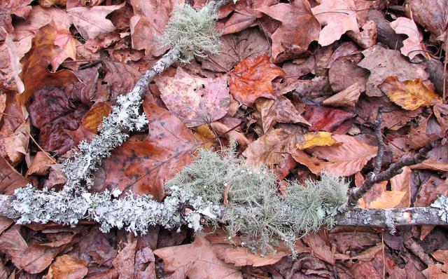 Foliose, Fruticose and Crustose Lichens on a fallen tree branch
