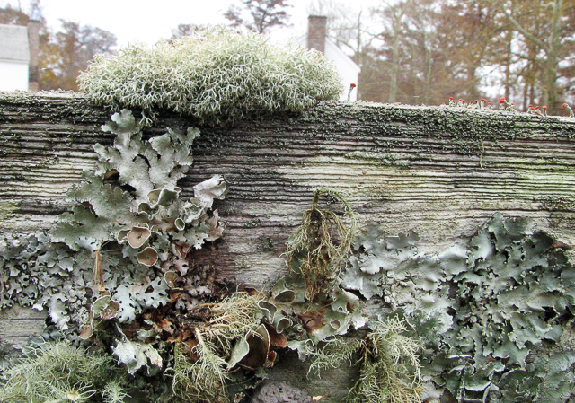 Lichen-covered fence board at Somerset Place.