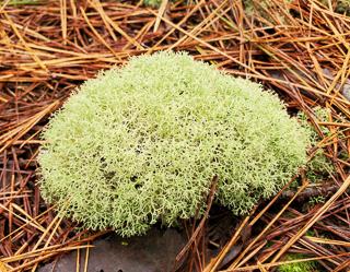 Reindeer Moss, a Fruticose Lichen.