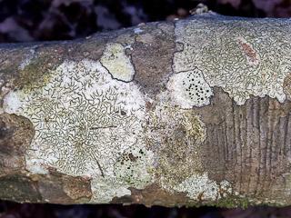 Crustose Lichens on Ironwood Tree.