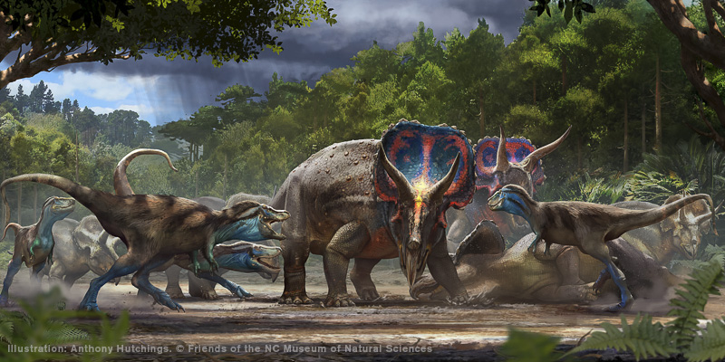 Artist's rendering of battling Tyrannosaurus rex and Triceratops horridus. Illustration: Anthony Hutchings. Copyright Friends of the NC Museum of Natural Sciences.