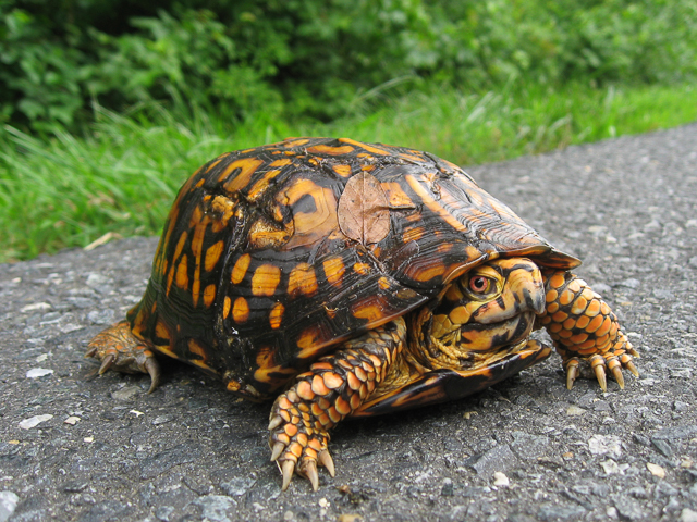 Eastern Box Turtle. Photo: Jim Lynch, National Park Service.