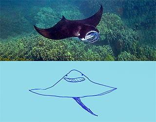 Photo of a ray with a sketch of it below