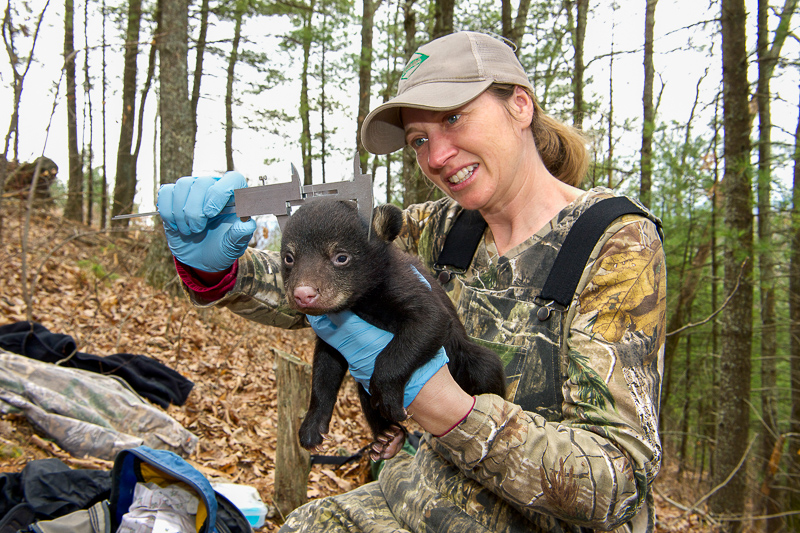 Colleen Olfenbuttel measuring a baby Black Bear.