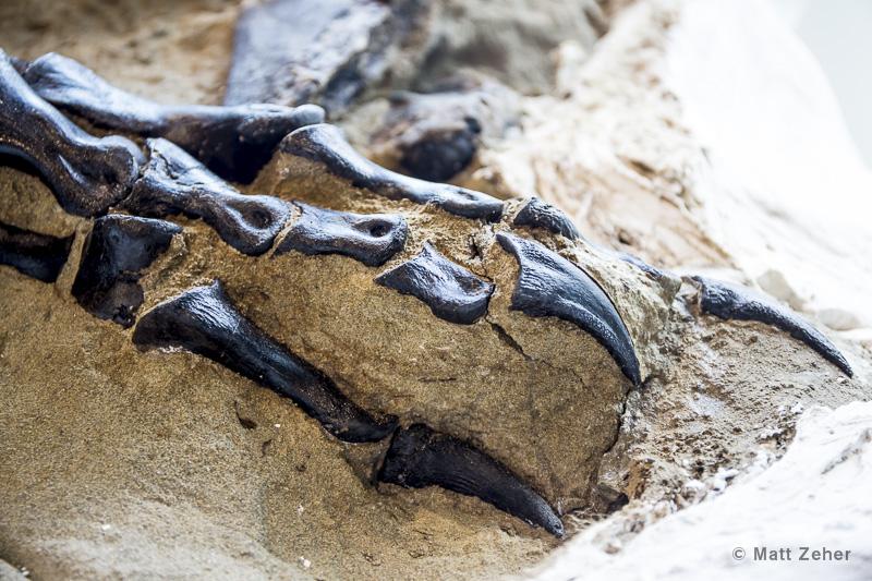 T. rex foot. Photo: Matt Zeher.