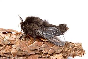 Mature male evergreen bagworm. Photo: Matt Bertone.